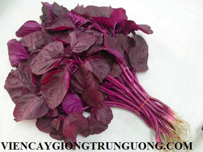 Cung cấp hạt giống rau dền1