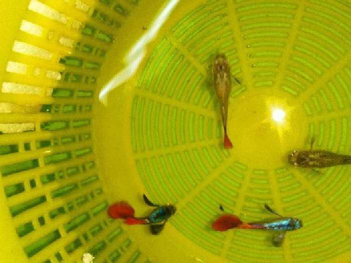 Cá Thái thuần chủng2
