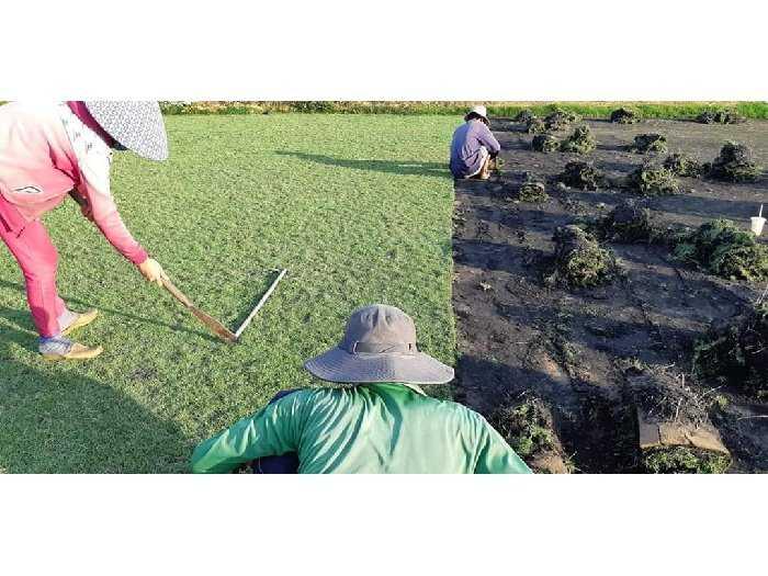 Các loại cỏ Nhật trang trí sân vườn đẹp0