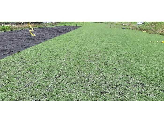 Các loại cỏ Nhật trang trí sân vườn đẹp1