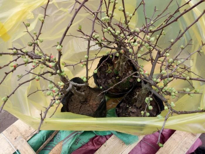 Chuyên cung cấp sỉ - lẻ Mai đỏ chưng tết, Cam kết hoa nở chuẩn tết2