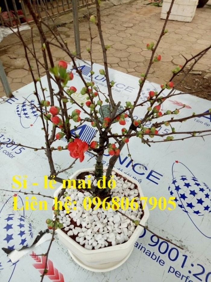 Chuyên cung cấp sỉ - lẻ Mai đỏ chưng tết, Cam kết hoa nở chuẩn tết7