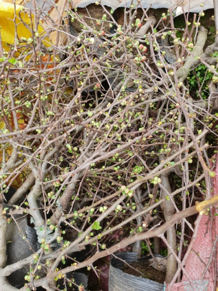 Chuyên cung cấp sỉ - lẻ Mai đỏ chưng tết, Cam kết hoa nở chuẩn tết12