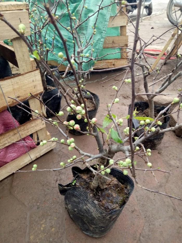 Chuyên cung cấp sỉ - lẻ Mai đỏ chưng tết, Cam kết hoa nở chuẩn tết9