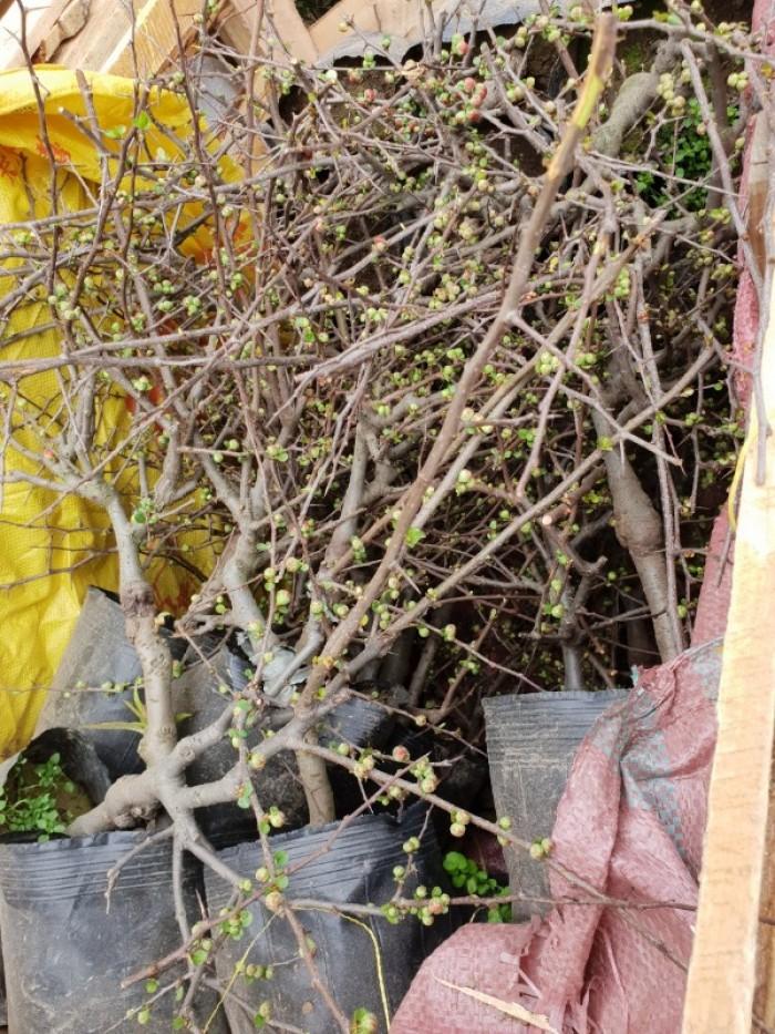 Chuyên cung cấp sỉ - lẻ Mai đỏ chưng tết, Cam kết hoa nở chuẩn tết14
