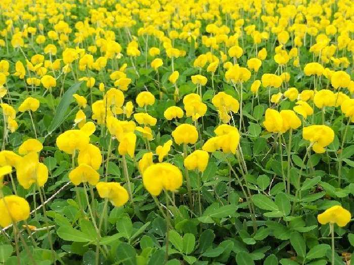 Cây cỏ lạc cỏ đậu phộng hoa màu vàng