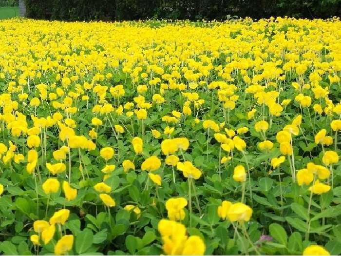 Cây cỏ lạc cỏ đậu phộng hoa màu vàng4