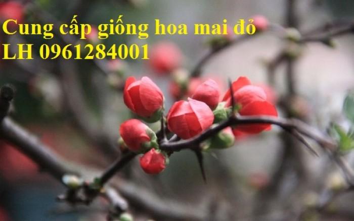 Cung cấp số lượng lớn hoa mai đỏ, hoa mai đỏ chơi Tết, hoa đào đỏ, giao hàng toàn quốc0
