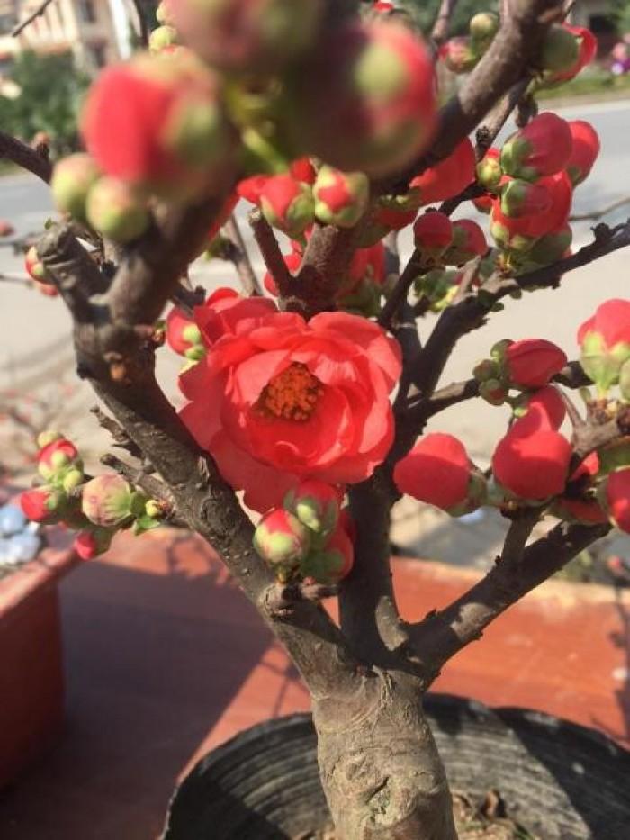 Cung cấp số lượng lớn hoa mai đỏ, hoa mai đỏ chơi Tết, hoa đào đỏ, giao hàng toàn quốc13
