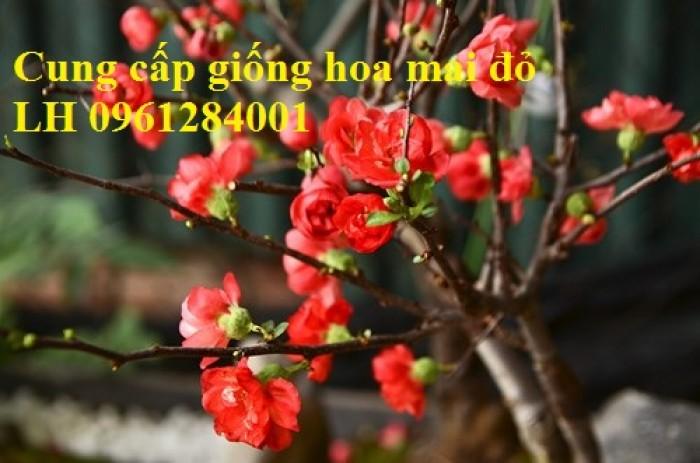 Cung cấp số lượng lớn hoa mai đỏ, hoa mai đỏ chơi Tết, hoa đào đỏ, giao hàng toàn quốc1