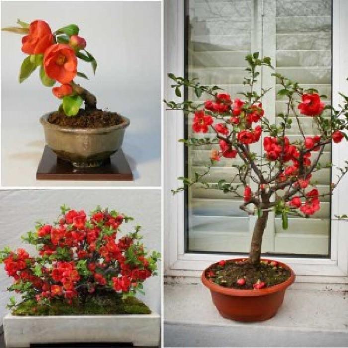 Cung cấp số lượng lớn hoa mai đỏ, hoa mai đỏ chơi Tết, hoa đào đỏ, giao hàng toàn quốc10