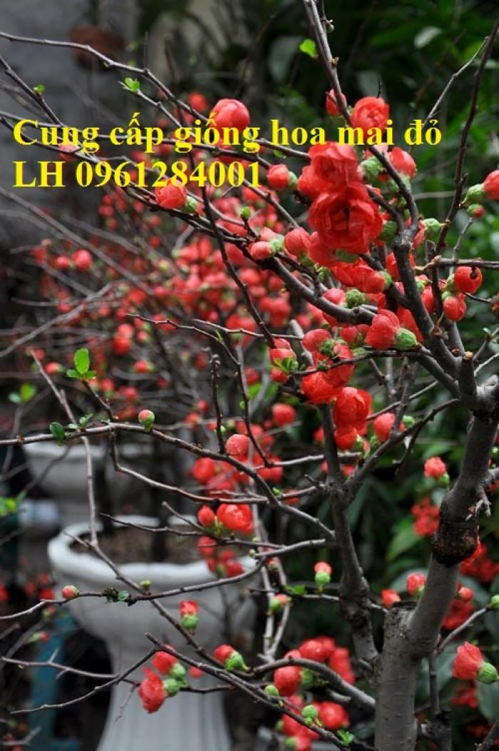 Cung cấp số lượng lớn hoa mai đỏ, hoa mai đỏ chơi Tết, hoa đào đỏ, giao hàng toàn quốc19