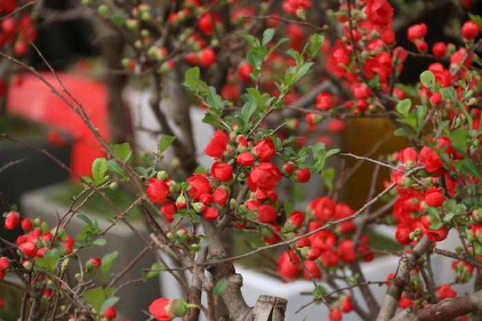 Cung cấp số lượng lớn hoa mai đỏ, hoa mai đỏ chơi Tết, hoa đào đỏ, giao hàng toàn quốc4