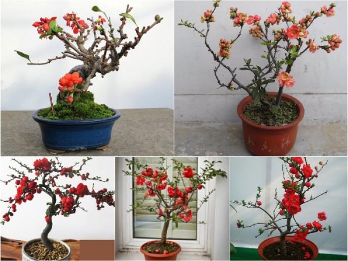 Cung cấp số lượng lớn hoa mai đỏ, hoa mai đỏ chơi Tết, hoa đào đỏ, giao hàng toàn quốc7
