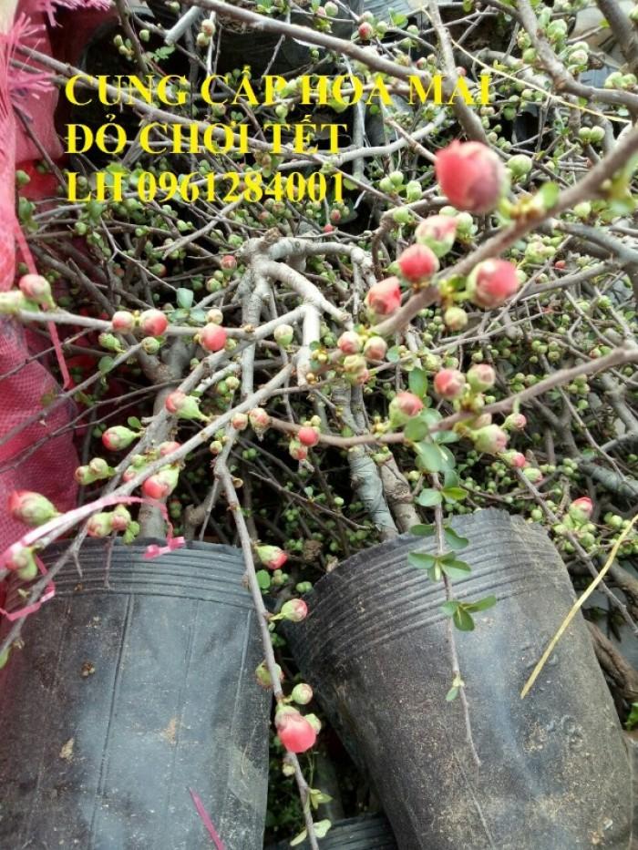 Cung cấp số lượng lớn hoa mai đỏ, hoa mai đỏ chơi Tết, hoa đào đỏ, giao hàng toàn quốc17