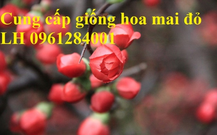 Cung cấp số lượng lớn hoa mai đỏ, hoa mai đỏ chơi Tết, hoa đào đỏ, giao hàng toàn quốc6