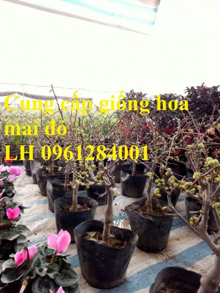 Cung cấp số lượng lớn hoa mai đỏ, hoa mai đỏ chơi Tết, hoa đào đỏ, giao hàng toàn quốc16