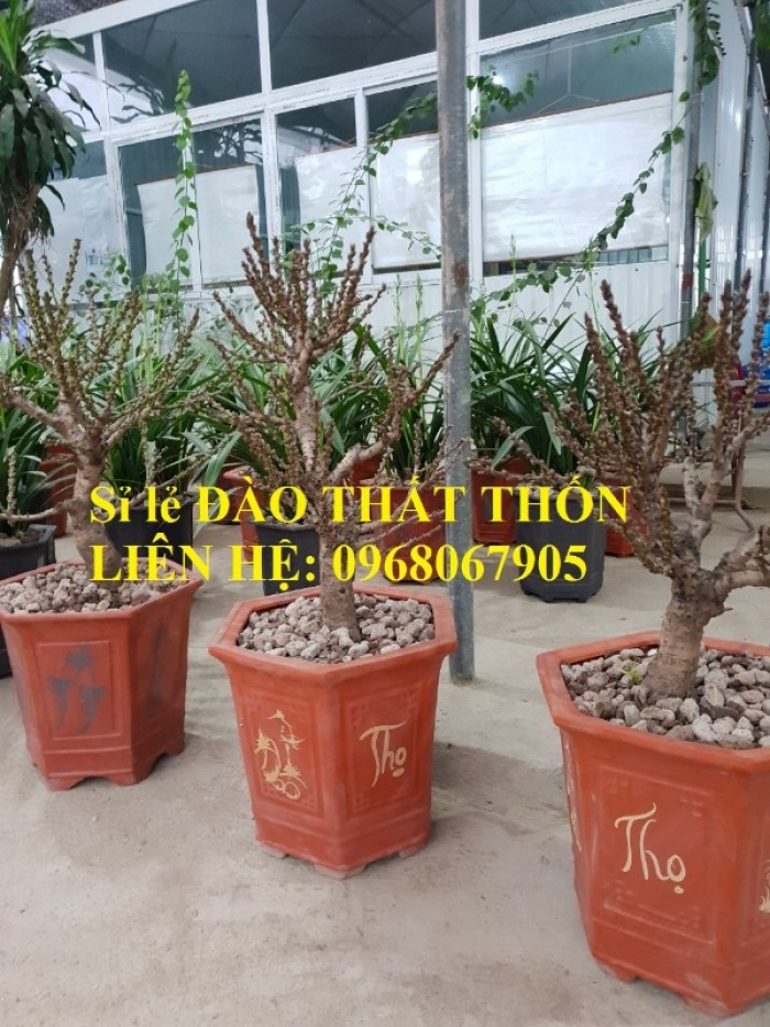 Sỉ - lẻ Đào Thất Thốn dáng bonsai cực chất - Liên hệ: 09680679054