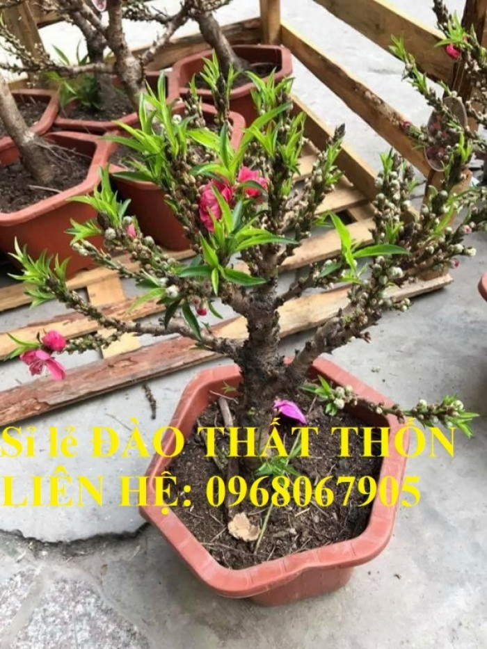 Sỉ - lẻ Đào Thất Thốn dáng bonsai cực chất - Liên hệ: 09680679058