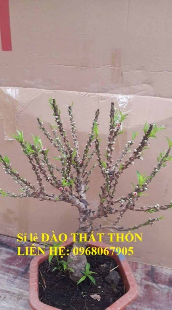 Sỉ - lẻ Đào Thất Thốn dáng bonsai cực chất - Liên hệ: 096806790513