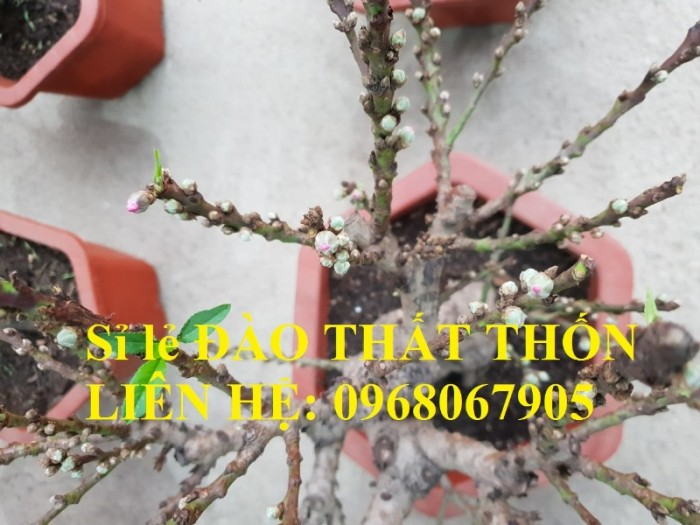 Sỉ - lẻ Đào Thất Thốn dáng bonsai cực chất - Liên hệ: 09680679052