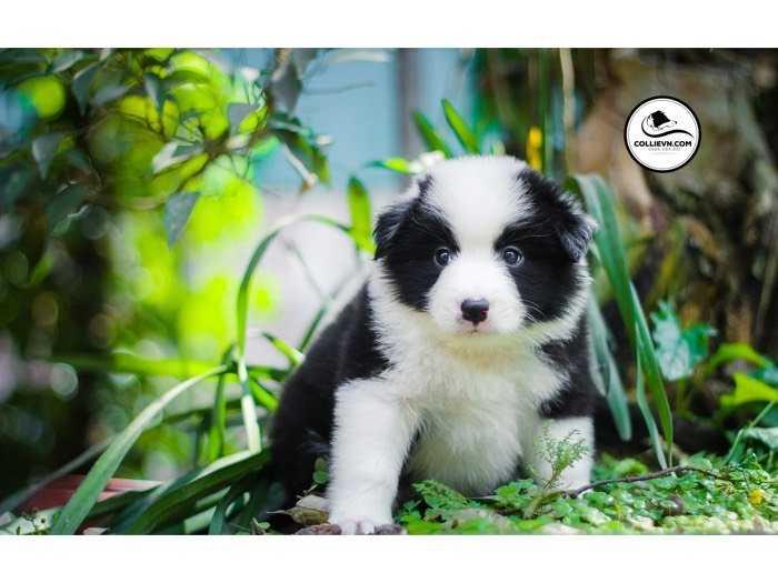Bán chó border collie thuần chủng1
