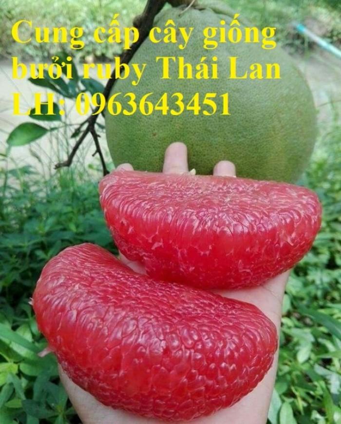 Cung cấp cây giống bưởi ruby Thái Lan, bưởi đỏ Thái Lan, bưởi hương Thái nhập khẩu chuẩn, uy tín, giao toàn quốc5