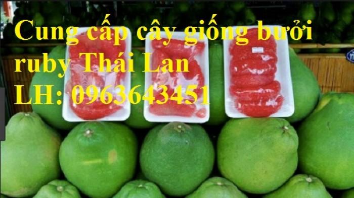 Cung cấp cây giống bưởi ruby Thái Lan, bưởi đỏ Thái Lan, bưởi hương Thái nhập khẩu chuẩn, uy tín, giao toàn quốc0