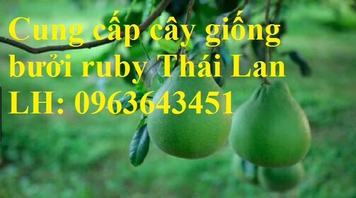 Cung cấp cây giống bưởi ruby Thái Lan, bưởi đỏ Thái Lan, bưởi hương Thái nhập khẩu chuẩn, uy tín, giao toàn quốc1