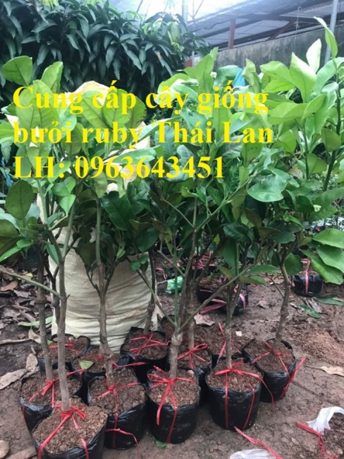 Cung cấp cây giống bưởi ruby Thái Lan, bưởi đỏ Thái Lan, bưởi hương Thái nhập khẩu chuẩn, uy tín, giao toàn quốc6