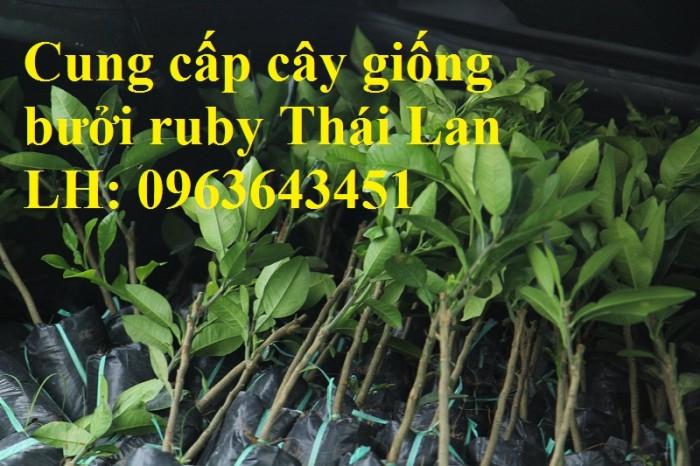 Cung cấp cây giống bưởi ruby Thái Lan, bưởi đỏ Thái Lan, bưởi hương Thái nhập khẩu chuẩn, uy tín, giao toàn quốc3