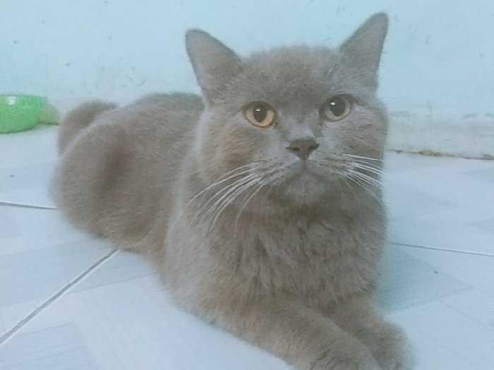 Bán mèo đực xám xanh màu lilac 11 tháng0