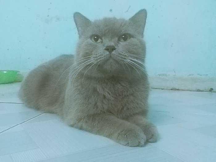 Bán mèo đực xám xanh màu lilac 11 tháng1