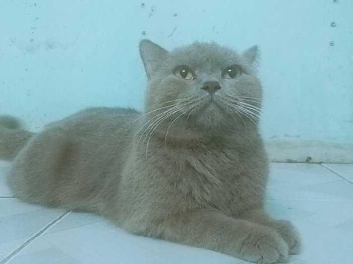 Bán mèo đực xám xanh màu lilac 11 tháng2