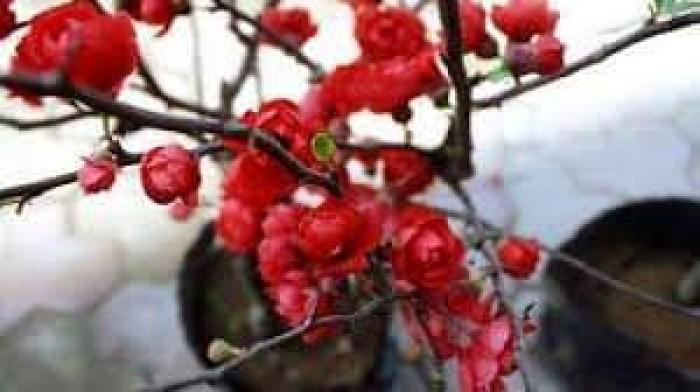 Cung cấp hoa mai đỏ Bon sai thế nam sắc bắc lạ mát được nhiều đại gia săn đón0