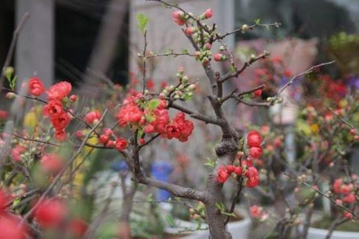 Cung cấp hoa mai đỏ Bon sai thế nam sắc bắc lạ mát được nhiều đại gia săn đón3