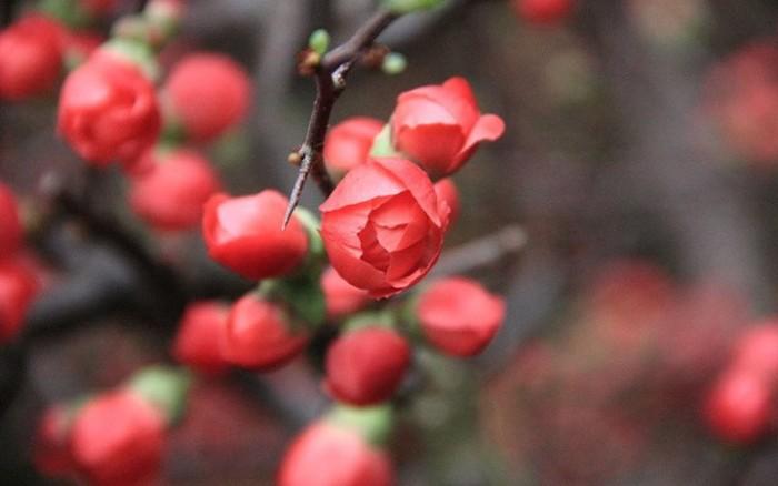 Cung cấp hoa mai đỏ Bon sai thế nam sắc bắc lạ mát được nhiều đại gia săn đón5