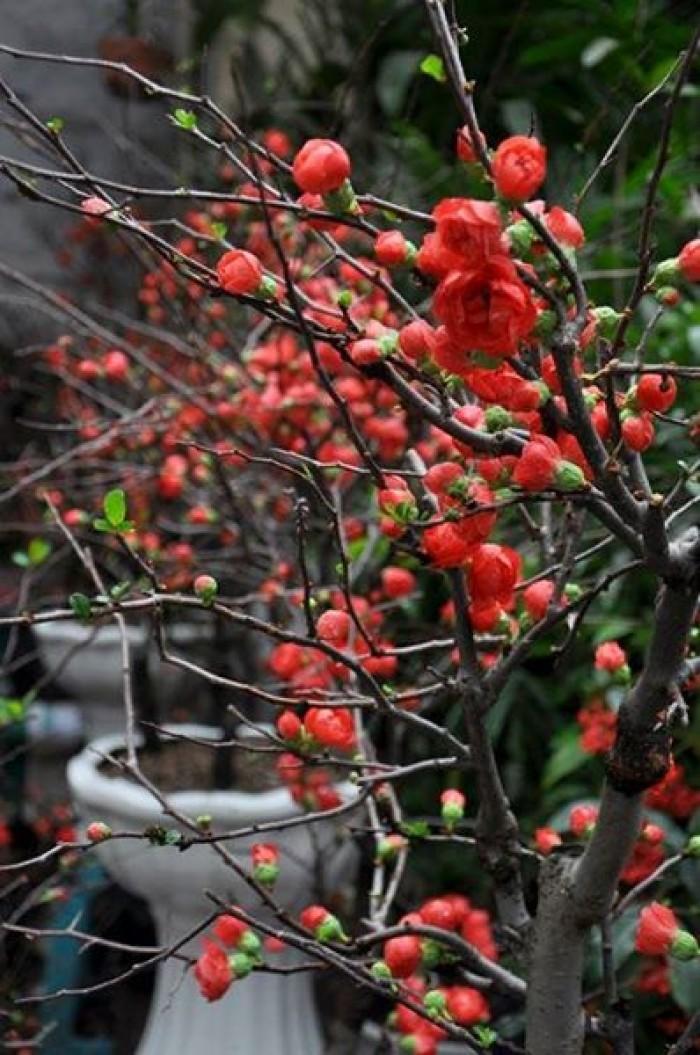 Cung cấp hoa mai đỏ Bon sai thế nam sắc bắc lạ mát được nhiều đại gia săn đón19