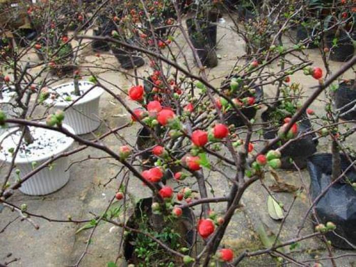 Cung cấp hoa mai đỏ Bon sai thế nam sắc bắc lạ mát được nhiều đại gia săn đón11