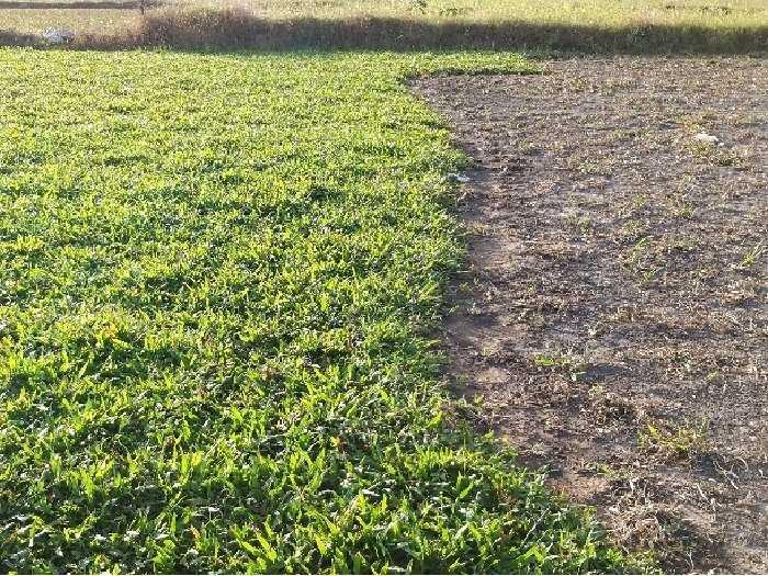 Cỏ lá tre lá gừng trồng sân vườn1