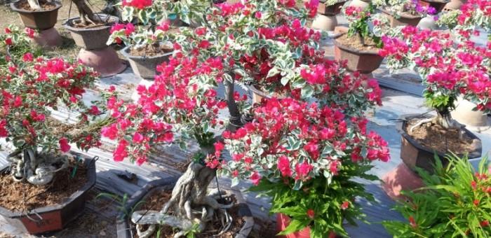 Cây Hoa Giấy, Hoa Giấy cẩm thạch