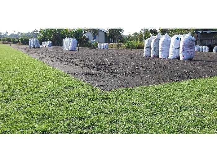 Cỏ nhung nhật cỏ thảm trang trí sân vườn