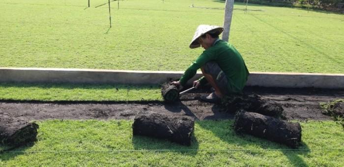 Thu hoạch cỏ nhung nhật cỏ thảm