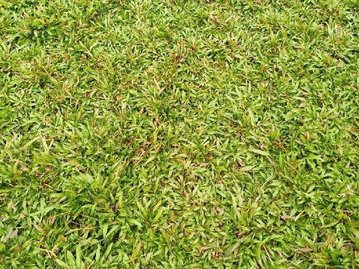 Cỏ lá tre cỏ lá gừng thường