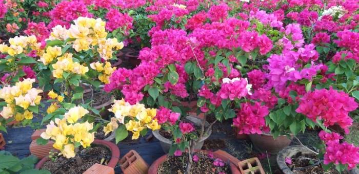 Cây hoa giấy siêu bông đủ màu