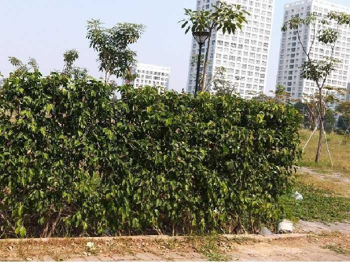 Tường cây xanh hàng rào xanh đủ loại