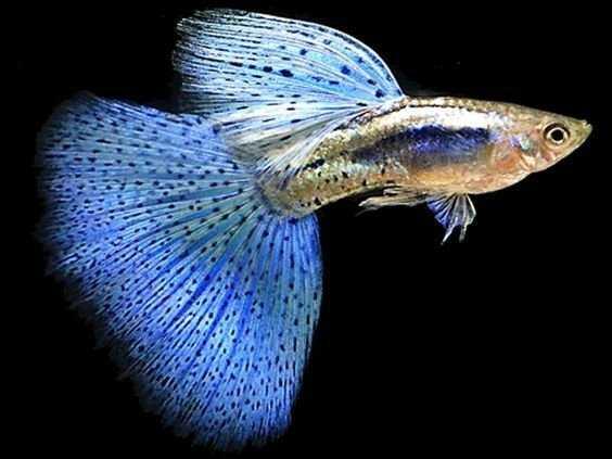 Cá guppy đẹp, rẽ0