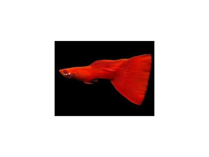 Cá guppy đẹp, rẽ1