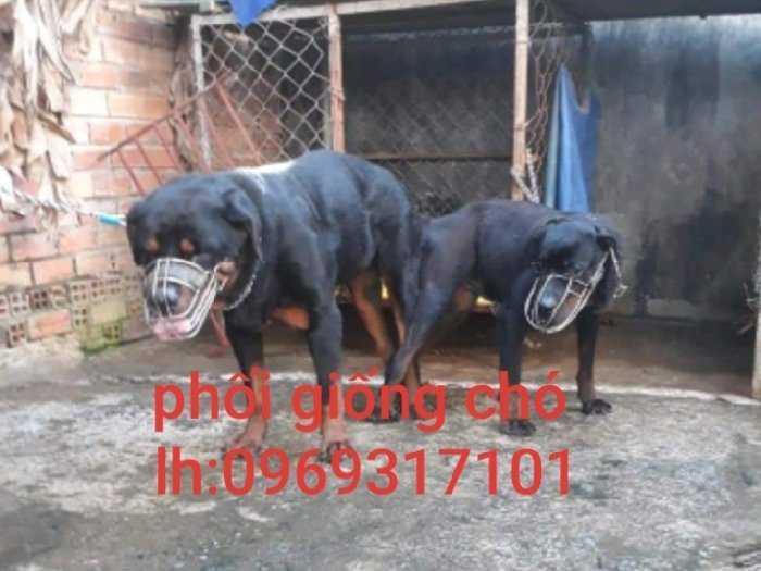 Phối giống chó Rott1