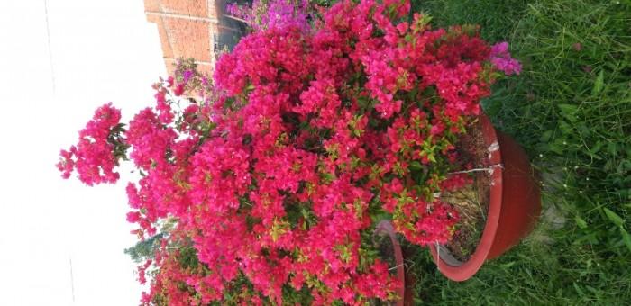 Cây hoa giấy cẩm thạch siêu bông
